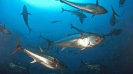 Il WWF denuncia il traffico illegale di tonno rosso