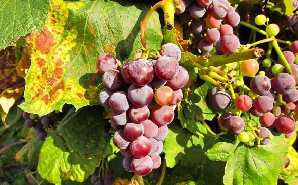 Via al bando da 17 milioni di euro: occasione imperdibile per la viticoltura toscana