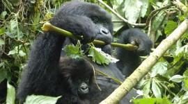 Nuovo nato tra i gorilla di montagna