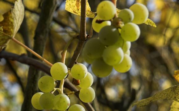 L'agrometereologo: vino e cambiamenti climatici