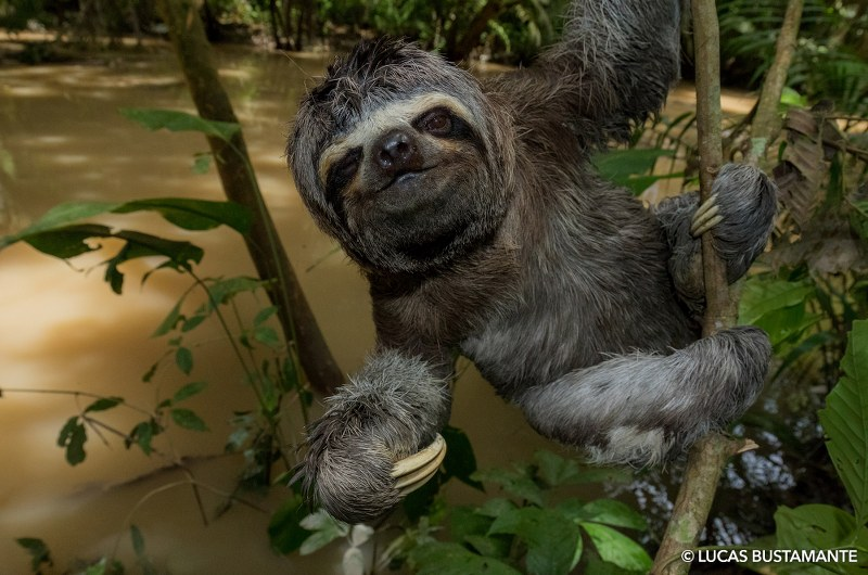 """Splash"" the three-toed sloth (Bradypus variegatus) near a tributary of the Napo river in Ecuador's Yasuní National Park, during the VR shoot in Amazonia."